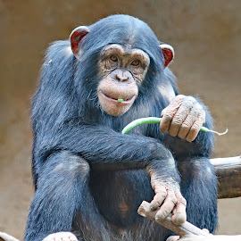 Young Chimpanzee by Mia Ikonen - Animals Other Mammals ( mia ikonen, canary islands, expressive, chimpanzee, eating, cute )