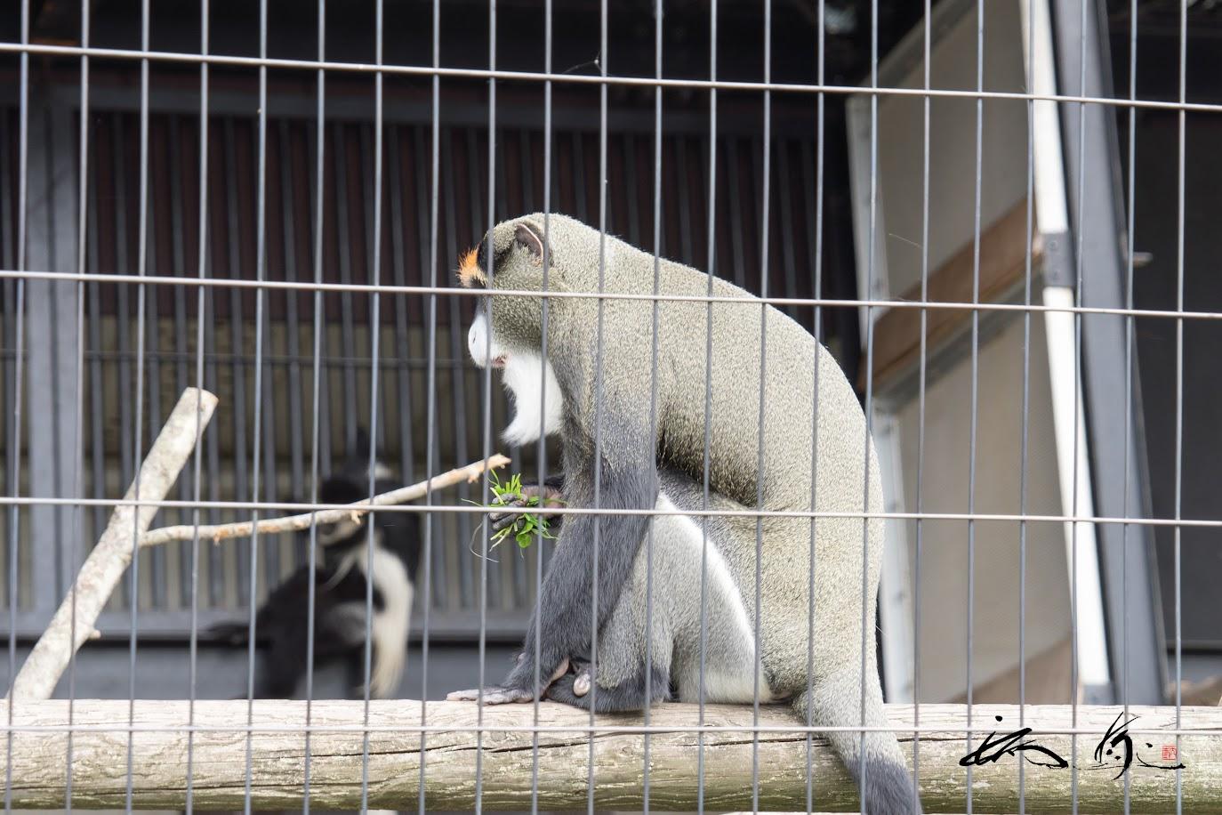 グレーヘアーのお猿さん