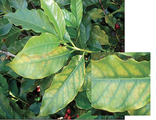 Deficiência por magnésio nas plantas de café