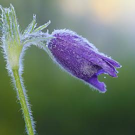 Pulsatile frozzen by Gérard CHATENET - Flowers Flowers in the Wild (  )