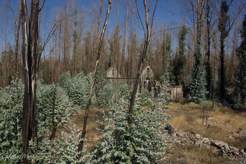 Eucaliptos creciendo después de un incendio