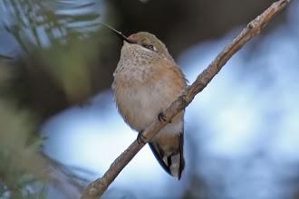 Photo: Calliope Hummingbird