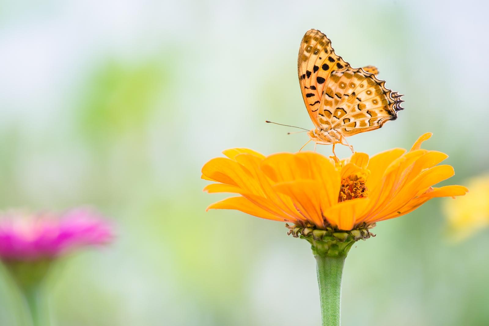 Photo: 鮮やかに咲く Blooming vividly.  夏を越える鮮やかな色 強く美しく その時を刻み残すように 色濃く咲かせて  fritillary. (ヒョウモンチョウ)  #insect #cooljapan #nikon #sigma  Nikon D800E SIGMA 150-600mm F5-6.3 DG OS HSM Contemporary