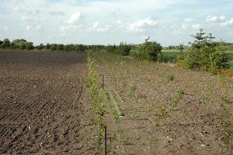 Photo: Her er vi ved østsiden, hvor vi har plantet 5 nye rækker træer og buske indenfor grantræer, hvor der mangler nogle imellem. Der er også plantet 5 nye rækker indenfor det gamle mod nordsiden.