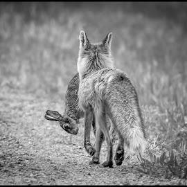 Fox and Rabbit by Dave Lipchen - Black & White Animals ( rabbit, fox )