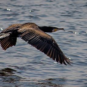 Cormorant by Michael Michael - Animals Birds ( bird, flying, cormorant, wildlife, black,  )