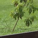 Avocado Tree ( One Bent Tree )