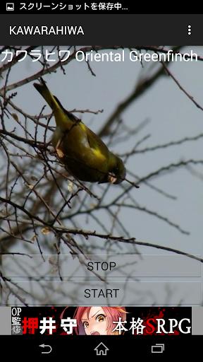 鳥鳴き声カワラヒワ