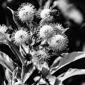 by Andrew Stevenson - Black & White Flowers & Plants