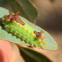 Pale Cup Moth Caterpillar