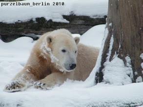 Photo: Knut geniesst den Tiefschnee neben dem Baumstamm :-)