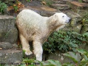 Photo: Neugieriger kleiner Eisbaer Knut :-)