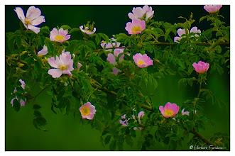Photo: Wildrose  man kann ihren Duft schmecken