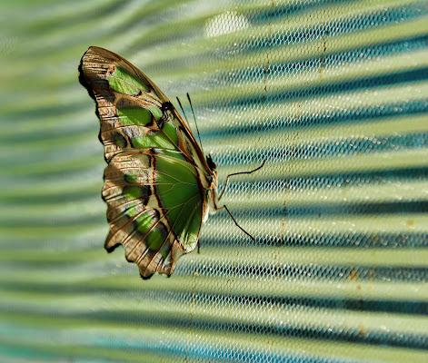 green papillon di Zerosedici