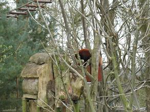 Photo: Fota Wildlife Park - Red Panda