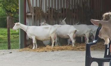 Photo: Tijdens de huiskeuring worden vier geiten en vijf bokken voor inspectie aangeboden en twee oudere geiten getoond.
