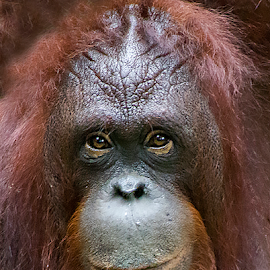 Just Like Your Imagination by Yohanes Arief Dewanto - Animals Other Mammals ( orangutan, ape, wilderness, animal, wild )