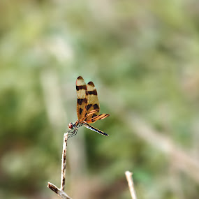 damsel by Debi Henry - Animals Other ( solitary, damsel, summer, bug, orange and black stripes )