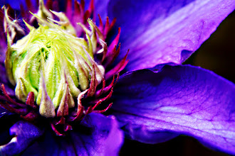 Photo: Something bright and cheerful for the weekend - purple clematis  #PlusPhotoExtract