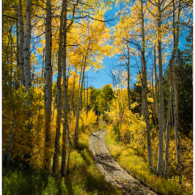 The Road Less Travelled by George Kremer - Landscapes Forests ( mountains, autumn, fall, beautiful, colorado, aspens, road, leaves, golden, aspen )