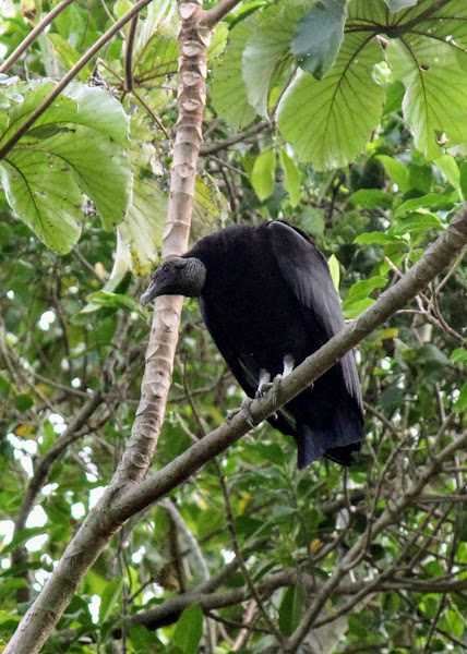Photo: Black Vulture