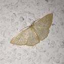 Common Tan Wave Moth
