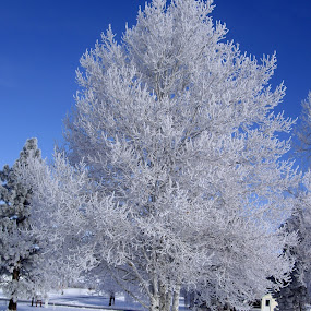 Frosted Tree by Ann Marie - Nature Up Close Trees & Bushes ( tree, frost, winther, Tree, Nature, Sky, , snow, white, quality, detail, landscapes )