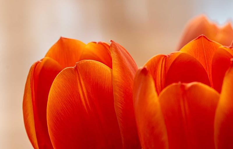 Petali di tulipani di Aktarus