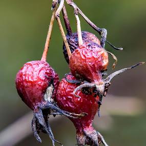 Shriveled Berries by Rachaelle Larsen - Nature Up Close Other plants ( idaho, boise, shriveled berries, fall, mk nature center )