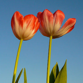 Tulips by Inge Hawkins - Uncategorized All Uncategorized ( #tulips #pink_and_white_tulips,  )