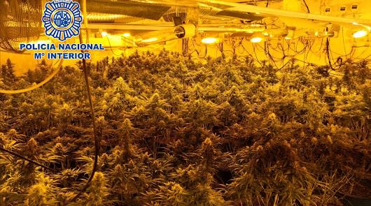 Investigan enganches ilegales en Los Almendros y hallan 888 plantas de marihuana
