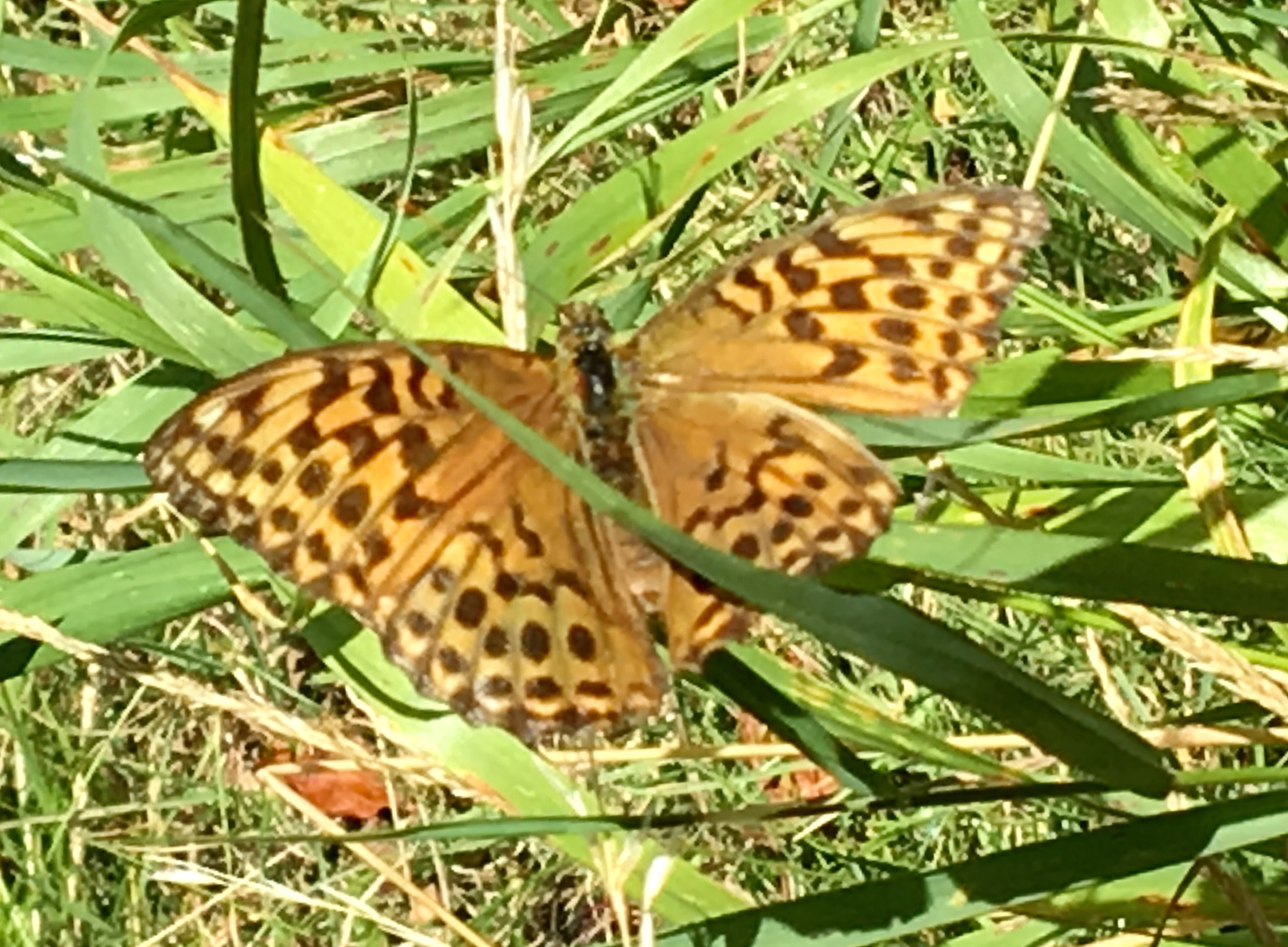 Photo: 1/2 Silver-washed Fritillary  © Owain Jones 2016