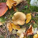 Rollrim Mushroom