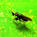 Mantis Shorefly