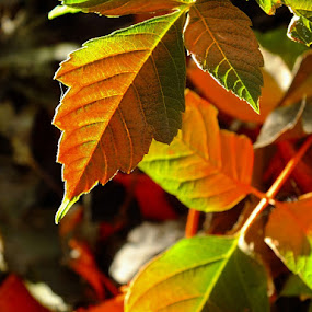 Morning Light by Val Ewing - Nature Up Close Leaves & Grasses ( pwcfallleaves )