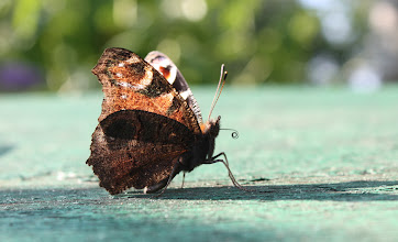 Photo: Inachis io        Lepidoptera Nymphalidae