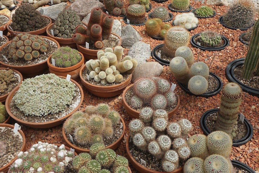 Cactus Variety by Jim Czech - Nature Up Close Other plants ( spines, cacti, dish garden, arid, garden, cactus,  )