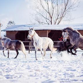 Let's play by Baltă Mihai - Animals Horses ( animals, horses, snow, white, black )