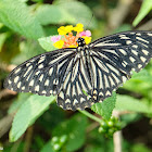 Chilasa clytia 斑鳳蝶