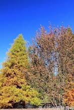 Photo: 拍攝地點: 梅峰-一平臺 拍攝植物: 水杉(左) 櫻花(右) 拍攝日期: 2014_11_25_FY