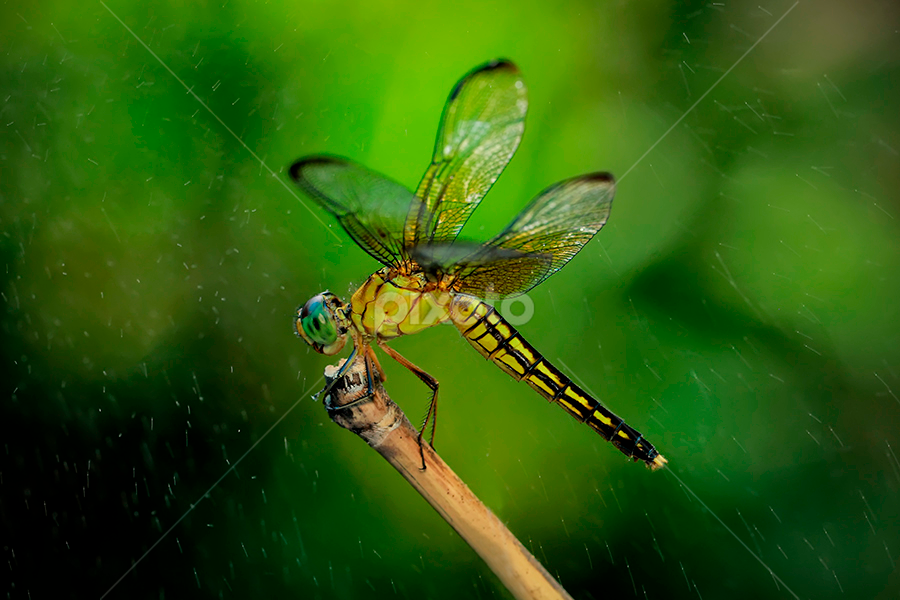 facing the rain by Bobby Worotikan - Animals Insects & Spiders ( pwcinsectsandspiders )