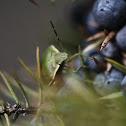 Chlorochroa juniperina