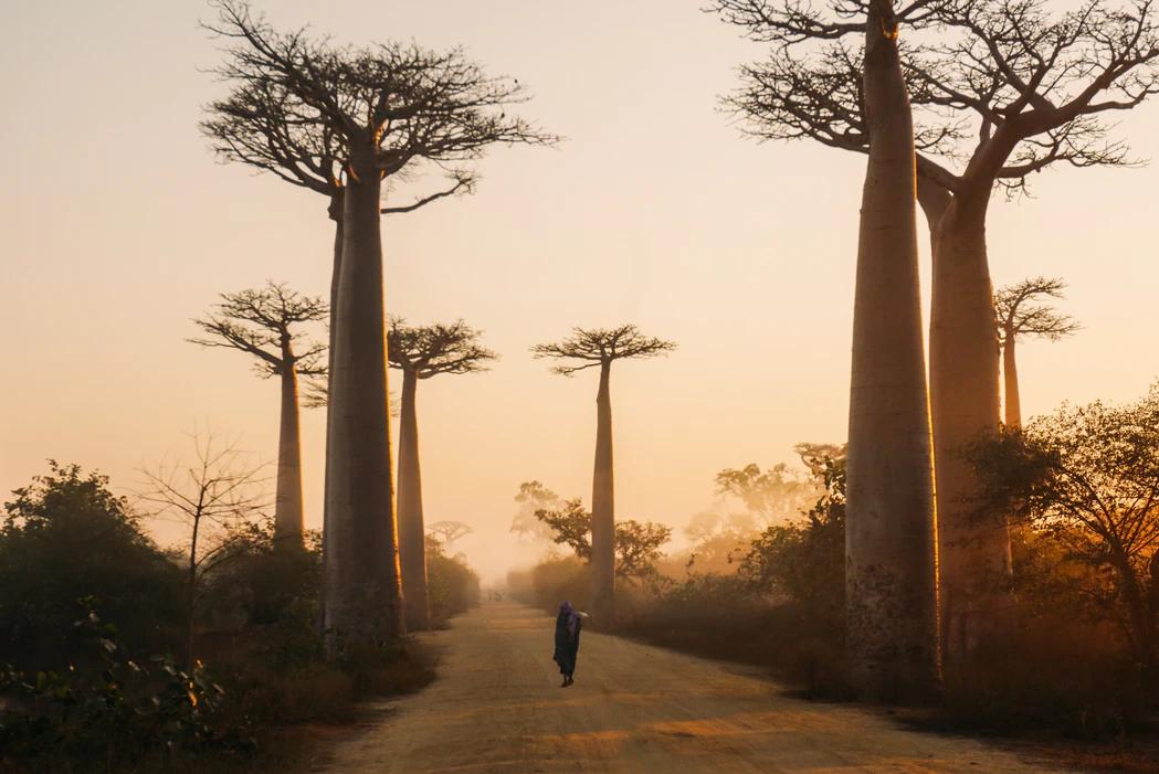 baobabi puud
