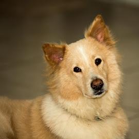 jasper by Hamish Hamilton - Animals - Dogs Portraits ( lost, fluffy, poser, cute, dog )