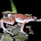 Long-snouted frog