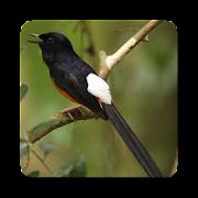 Kicau Master Burung Murai