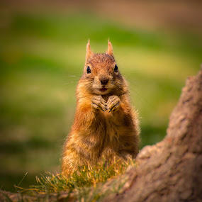 Squirrel by Ivan Ivanov - Animals Other Mammals ( mammals, mammal, squirrel, animal )