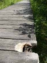 Photo: Tą trasą rozkoszują się też bobry