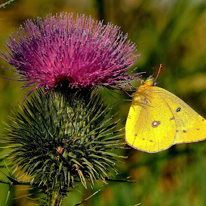 Butterfly&Thistle4Collage.JPG