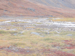 Photo: Greenland - Day 5 - caribou